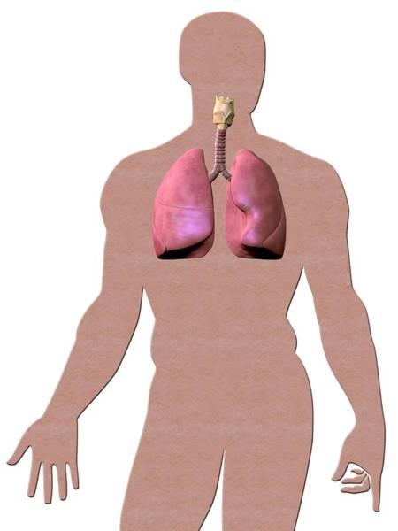 Anatomical Position Wall Art - Photograph - Human Respiratory System by Gunilla Elam/science Photo Library