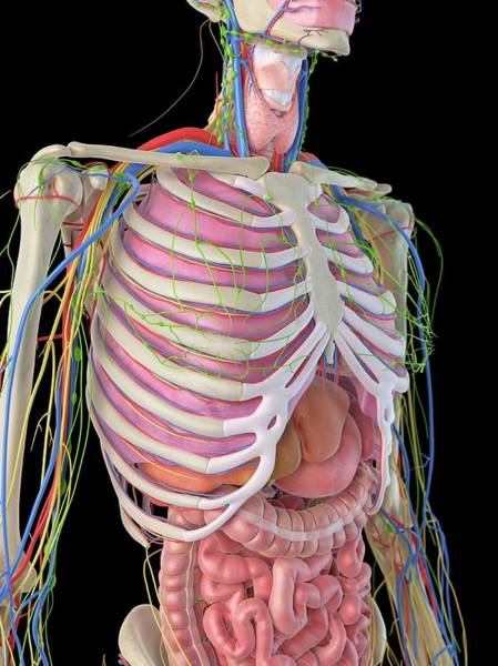 Ribcage Photograph - Human Ribcage And Organs by Sciepro