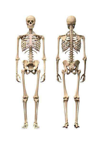 Bone Structure Wall Art - Photograph - Human Skeleton by Leonello Calvetti/science Photo Library