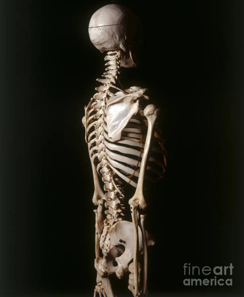 Photograph - Human Skeleton, Side View by John Davis and Dorling Kindersley