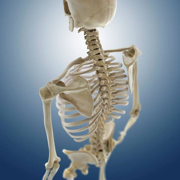 Back Bone Wall Art - Photograph - Human Skeleton by Springer Medizin/science Photo Library