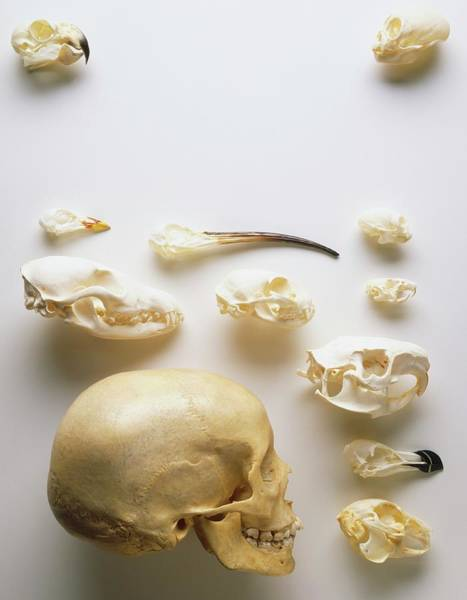 Juxtaposition Photograph - Human Skull And Animal Skulls by Dorling Kindersley/uig