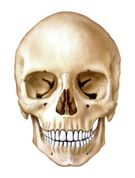 Occipital Bone Photograph - Human Skull by Bo Veisland/science Photo Library