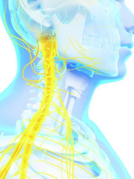 Spinal Cord Photograph - Human Spinal Cord by Sebastian Kaulitzki