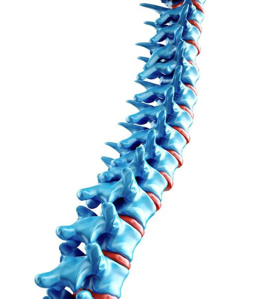 Bone Structure Wall Art - Photograph - Human Spine by Andrzej Wojcicki/science Photo Library