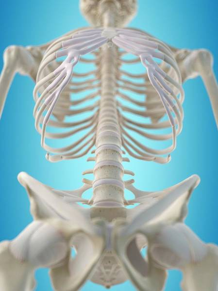 Ribcage Photograph - Human Thorax by Sciepro