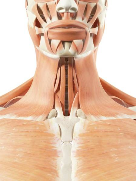 Musculoskeletal System Wall Art - Photograph - Human Throat Muscles by Sciepro
