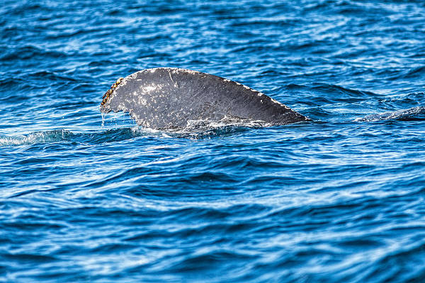 Photograph - Humback Whale Tale by Perla Copernik
