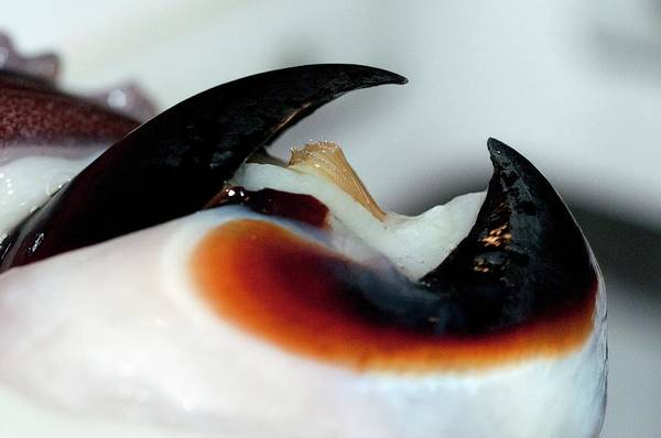 Squid Photograph - Humboldt Squid Beak by Louise Murray/science Photo Library