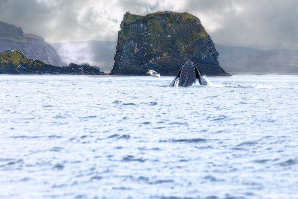 Photograph - Humbpack Whale by Perla Copernik