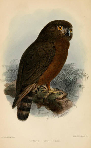 Owl Painting - Hume's Hawk Owl by Dreyer Wildlife Print Collections