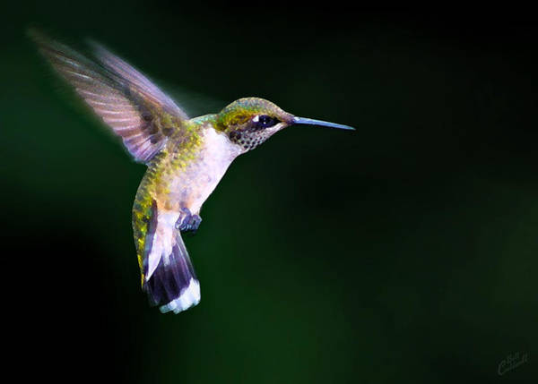 Beautiful Hummingbird Photograph - Hummer Ballet 2 by ABeautifulSky Photography by Bill Caldwell