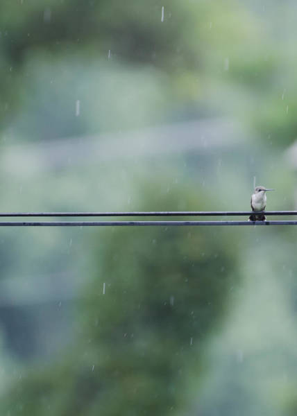 Photograph - Hummer In The Rain by Heather Applegate