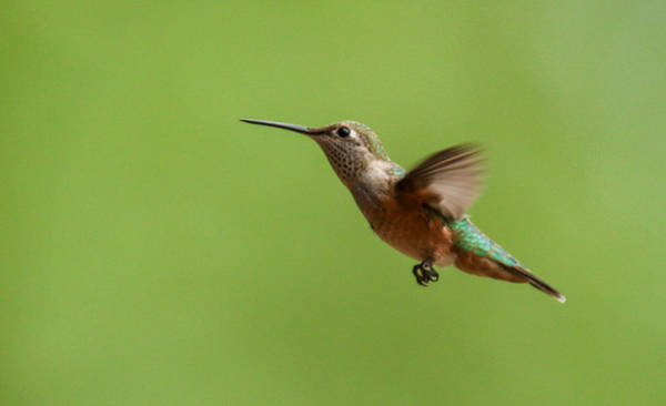 Photograph - Humminbird by Kevin  Dietrich