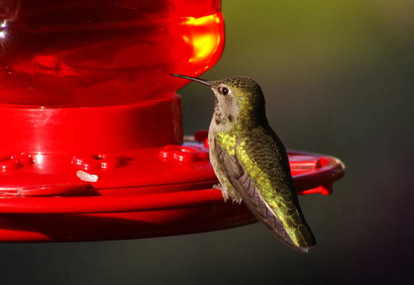Photograph - Humming Bird Feeder by Ron Roberts