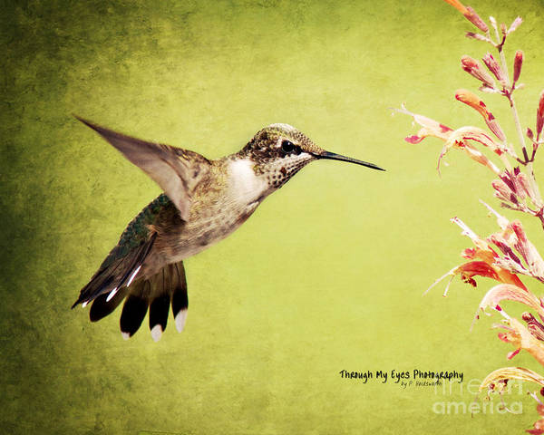 Photograph - Humming Bird In Flight by Pam  Holdsworth