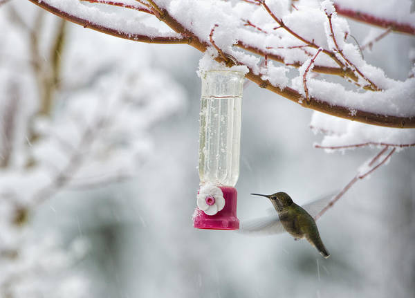 Photograph - Humming Bird In The Snow by Paul W Sharpe Aka Wizard of Wonders