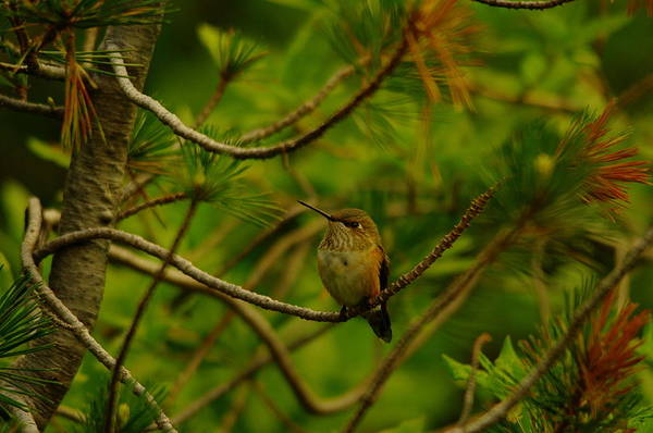 Little Things Photograph - Humming Birds Perched  by Jeff Swan