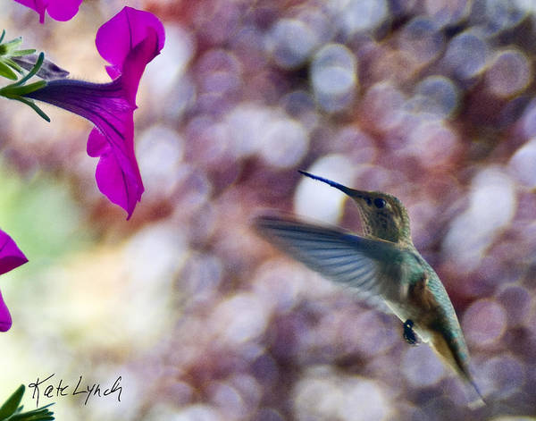 Photograph - Humming In Pink by Kate Lynch