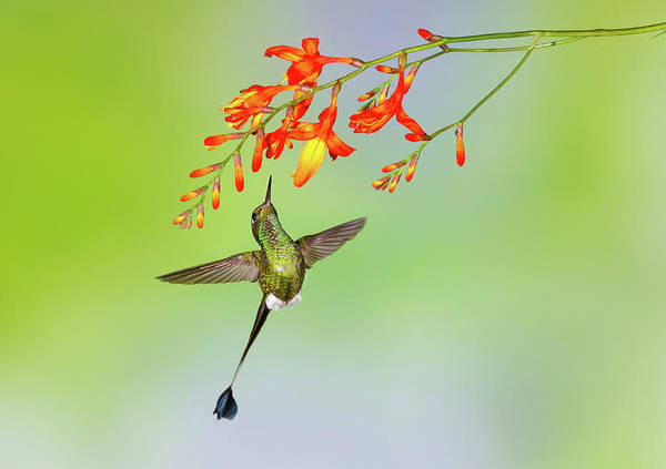 Vertebrate Photograph - Hummingbird , Booted Racket-tail by Kencanning
