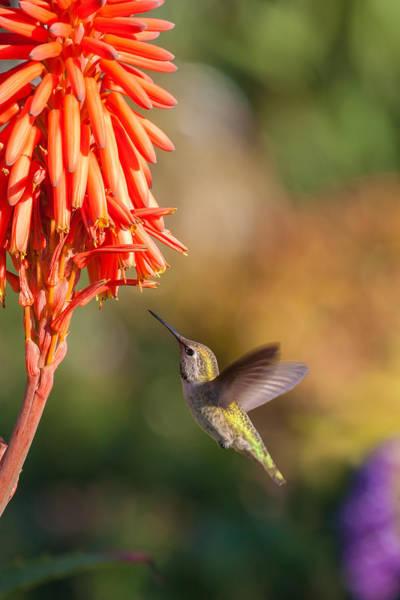 Photograph - Hummingbird And Flower by Cliff Wassmann