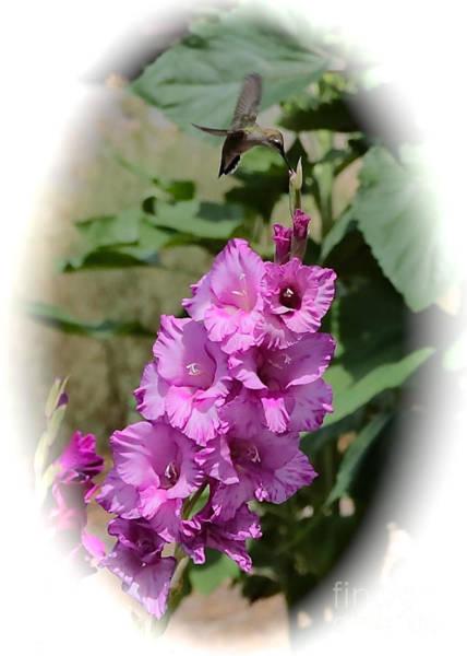 Photograph - Hummingbird And Glads by Carol Groenen