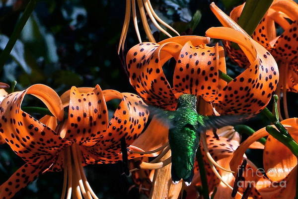 Photograph - Hummingbird And Tiger Lily by Byron Varvarigos