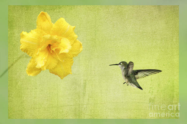Photograph - Hummingbird And Yellow Flower by Dan Friend