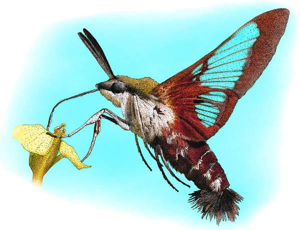 Hemaris Photograph - Hummingbird Clearwing, Illustration by Roger Hall