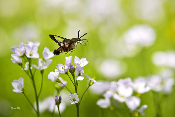 Beautiful Hummingbird Photograph - Hummingbird Clearwing Moth Flying Away by Christina Rollo