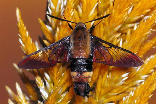 Hemaris Photograph - Hummingbird Clearwing Moth by Harry Rogers