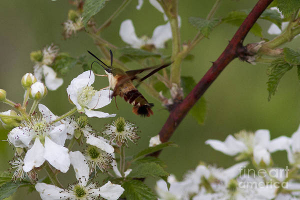 Clearwing Moth Photograph - Hummingbird Clearwing Moth by Linda Freshwaters Arndt