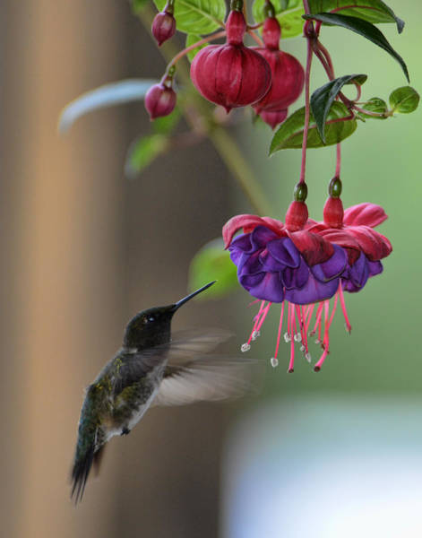 Photograph - Hummingbird by David Armstrong