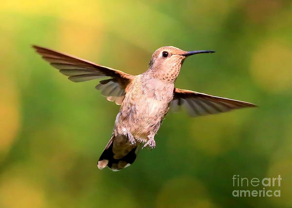 Photograph - Hummingbird Encounter by Carol Groenen