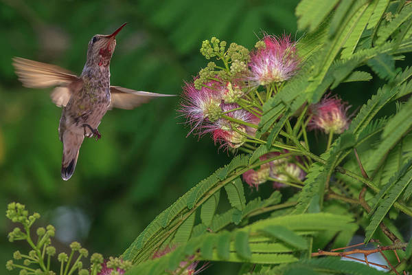 Wall Art - Photograph - Hummingbird Feeding Off Silk Tree by Tom Norring