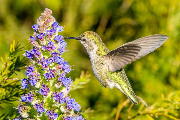Photograph - Hummingbird Feeding On Beautiful Flowers by Pierre Leclerc Photography