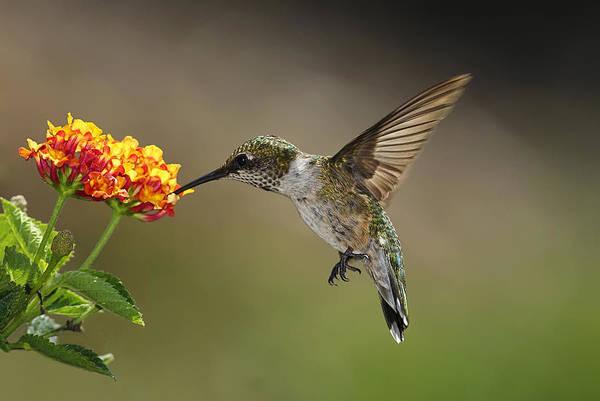 Hummingbird Feeding On Lantana Art Print by DansPhotoArt on flickr