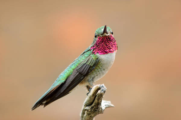 Photograph - Hummingbird Flasher by Theo OConnor