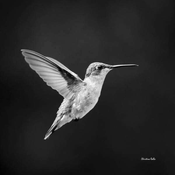 Photograph - Hummingbird Flyby Square by Christina Rollo