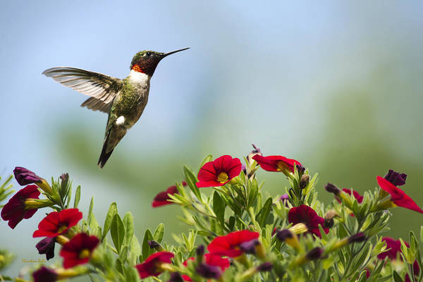 Photograph - Hummingbird Frolic With Flowers by Christina Rollo