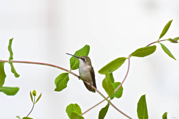 Hummingbird Hanging Out On The Honeysuckle Art Print