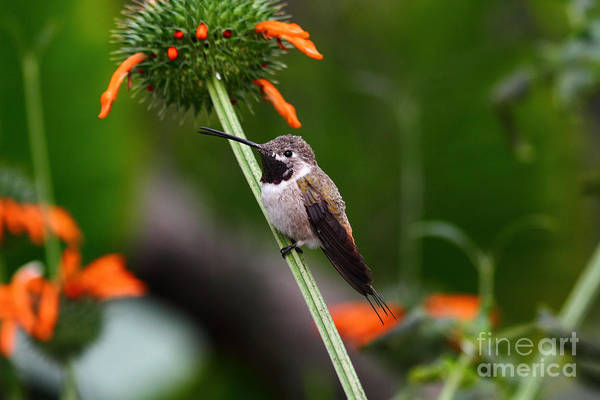 Photograph - Hummingbird Happiness by James Brunker