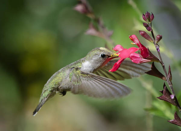 Colibri Photograph - Hummingbird Heaven  by Saija  Lehtonen