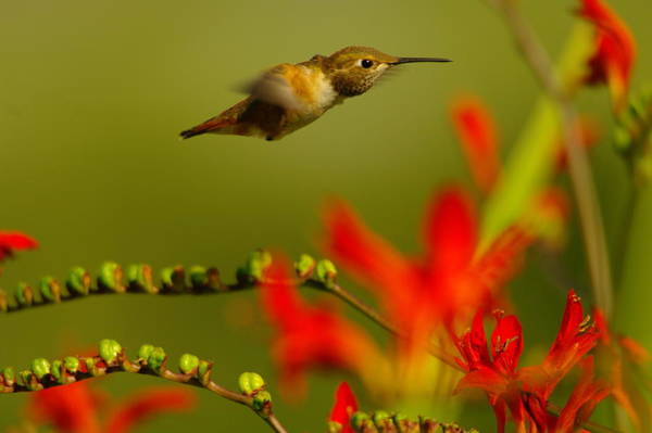 Oregon Wildlife Wall Art - Photograph - Hummingbird In A Rush by Jeff Swan