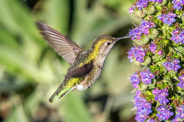 Photograph - Hummingbird In Action by Pierre Leclerc Photography