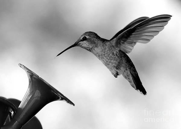 Hummingbird Feeder Photograph - Hummingbird In Black And White by Carol Groenen
