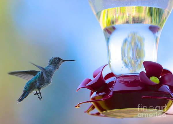 Photograph - Hummingbird In Blue by Carol Groenen