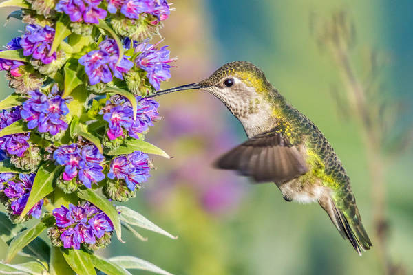 Photograph - Hummingbird In Colourful Nature by Pierre Leclerc Photography