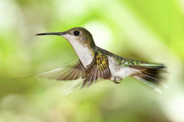 Bird Feeder Photograph - Hummingbird In Flight by Philippe Psaila/science Photo Library