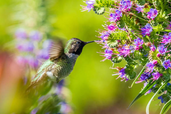 Photograph - Hummingbird In Nature by Pierre Leclerc Photography